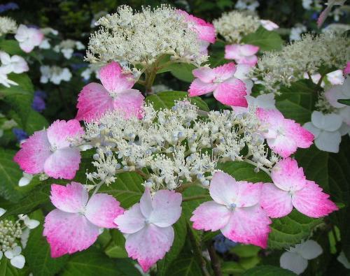 紫陽花 種類